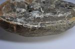 Amauroceras lenticulare, sharp keel