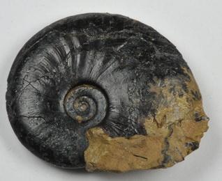 Amauroceras ferrugineum, size 2.5 cm
