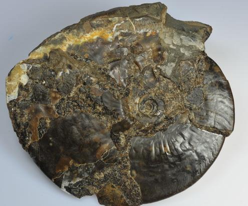 Amauroceras lenticulare, 9 cm