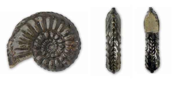 Amaltheus subnodosus : Side view, keel view, aperture view (from left)