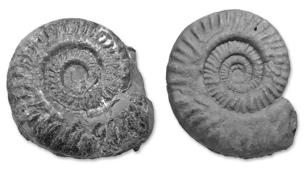 Two ammonites in black & white