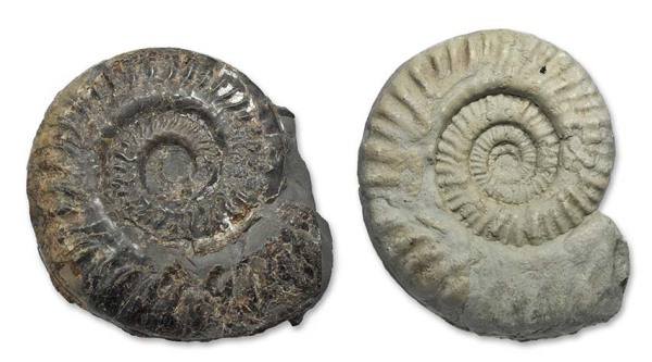 Two ammonites, natural colour