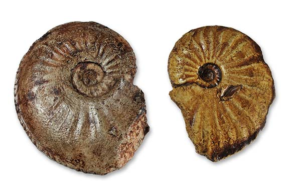 Amaltheus laevigatus (left) and Amaltheus reticularis (right)