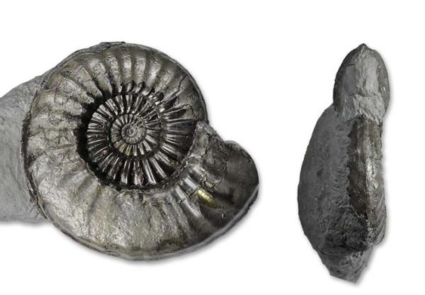 Asteroceras blakei SPATH, 1925, 10 cm