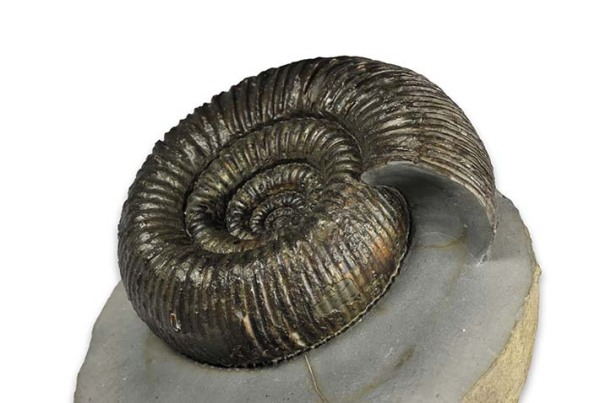 Dactylioceras (Orthodactylites) cf. crosbeyi, 7 cm, from Yorkshire Coast Fossils