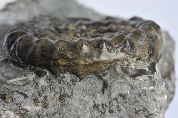 Echioceras raricostatum, keel detail