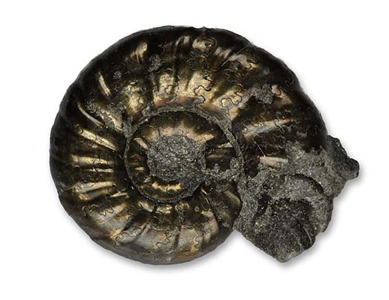 Polymorphites polymorphus interruptus, 1.8 cm