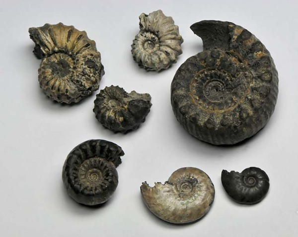 A surprise parcel with Scunthorpe ammonites