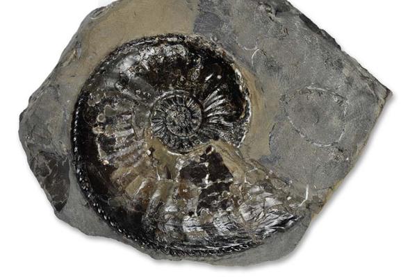 Amaltheus margaritatus, prepped, 7 cm