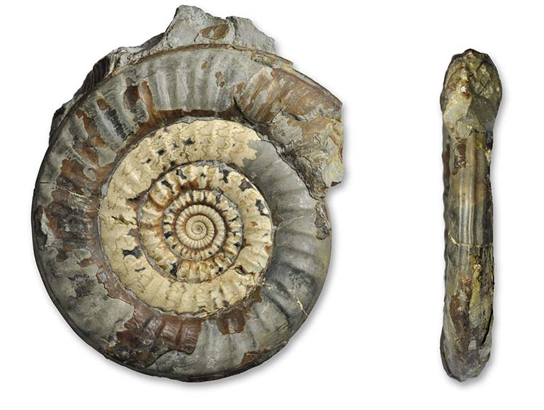 Paltechioceras planum, 8 cm, from fossilsdirect