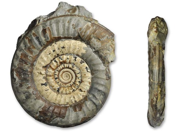 Paltechioceras planum, 8 cm, from fossilsdirect