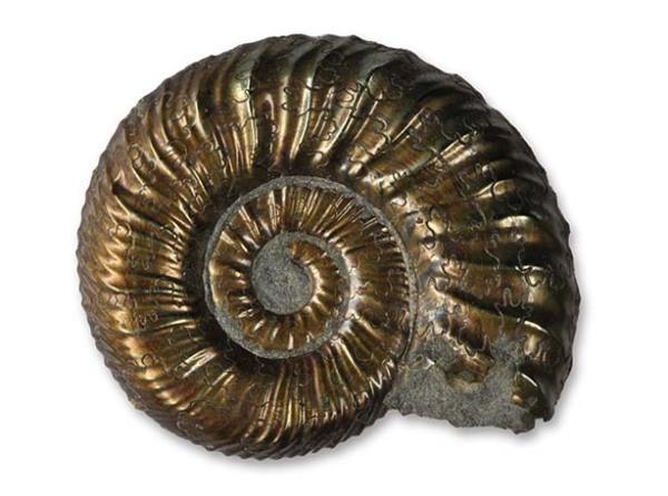 Polymorphites polymorphus , intermediate form, 2 cm