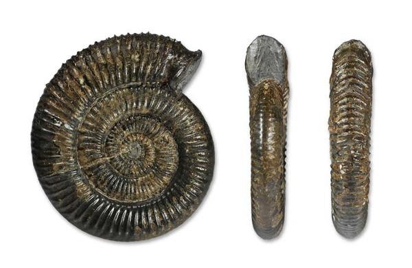 Zugodactylites braunianus, 7 cm