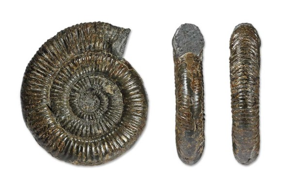 Zugodactylites rotundiventer, 9 cm