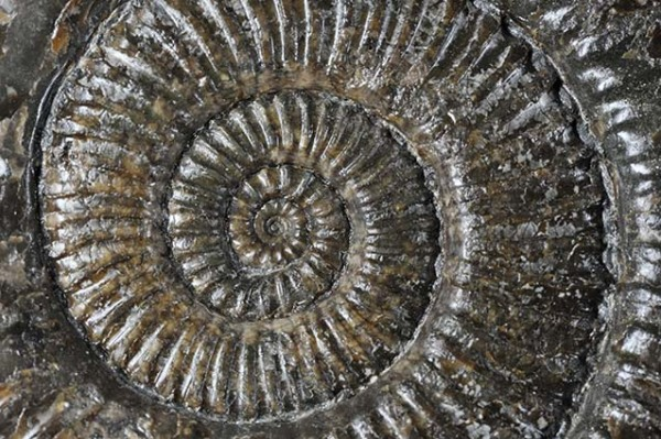 Zugodactylites braunianus inner whorl, view 3 cm wide