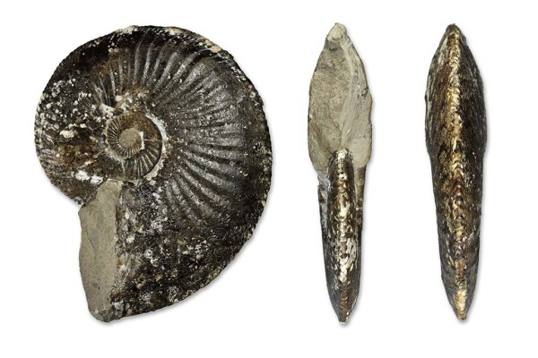 Amaltheus stokesi, completely septate, 13 cm