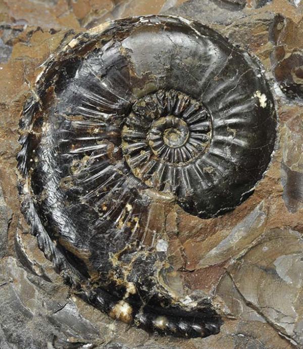 Amaltheus striatus, 4 cm