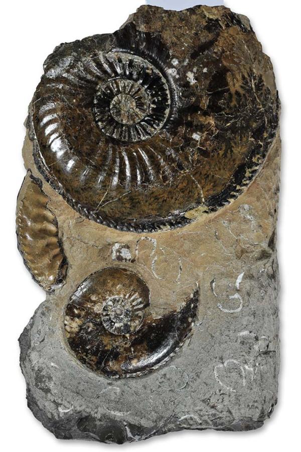 Large A. margaritatus 7cm, A. striatus (below) 3.5 cm, A. subnodosus (left) 4 cm