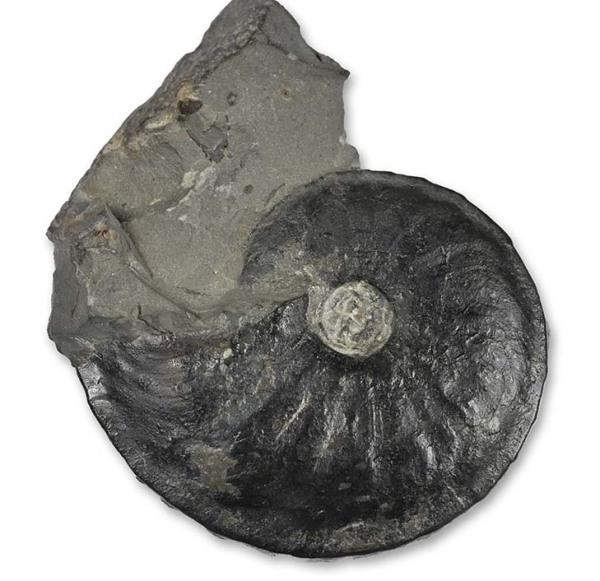 Oxynoticeras cf. oxynotum, 3.5 cm, 1990 style prep