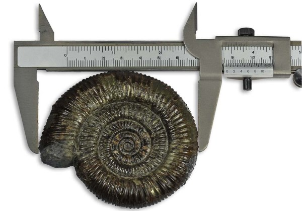 Measuring an ammonite with a pair of callipers