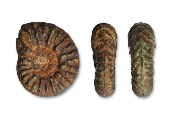 Phymatoceras rude, 1.4 cm