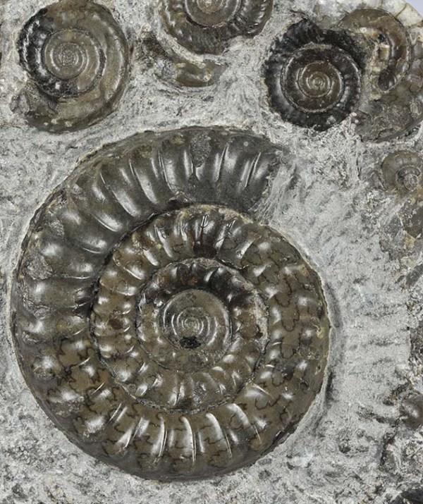 Arnioceras falcaries, 4.5 cm, Robin Hoods Bay