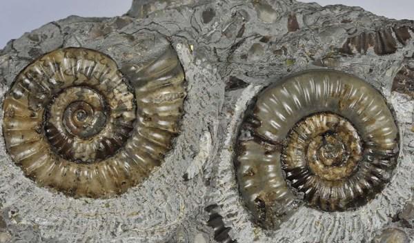 Arnioceras semicostatum, 4 & 4.5 cm, Holderness Coast
