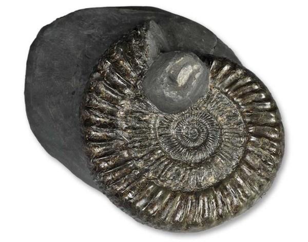 Peronoceras turriculatum, 7.5 cm, with aptychus