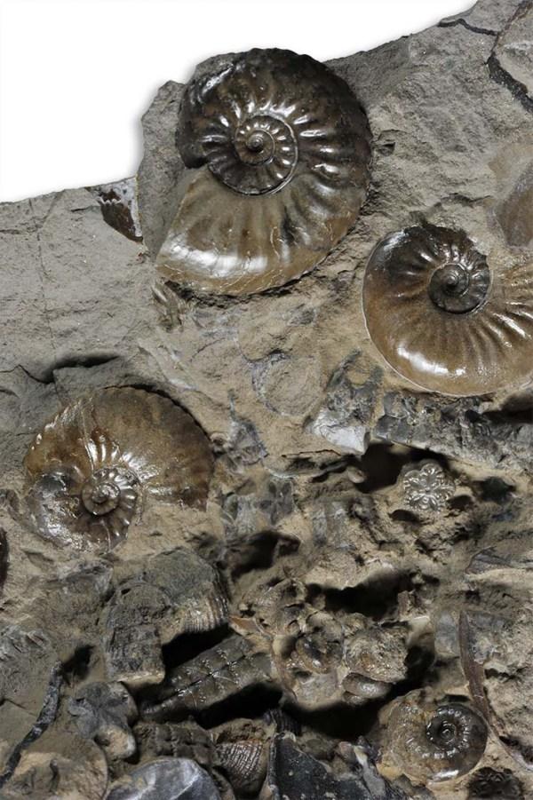 Balanocrinus gracilis, ossicles with juvenile Amaltheus (1 cm diameter) ammonites