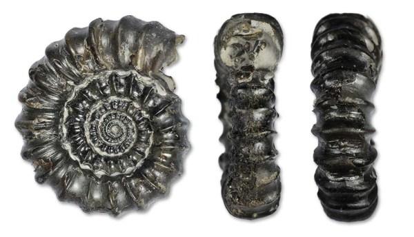 Gagaticeras gagateum, 3.5 cm, with aperture & keel view