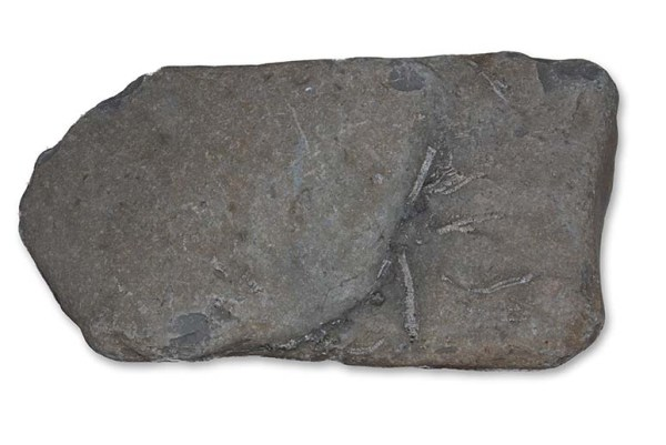 Hispidocrinus scalaris, slab as found, width = 30 cm