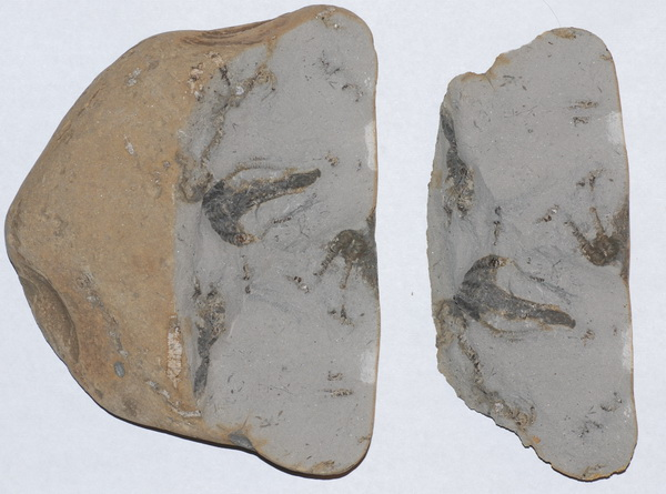 Hispidocrinus scalaris, slab as found, width = 15 cm