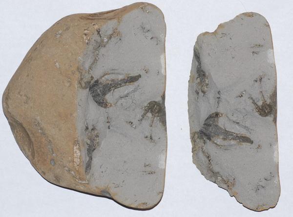 Hispidocrinus scalaris, slab as found, width = 15 cm