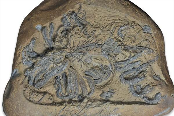 Hispidocrinus scalaris, prepped