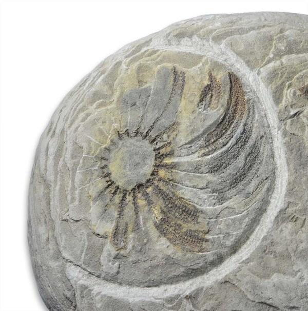 Luidia murchisoni, 10 cm diameter