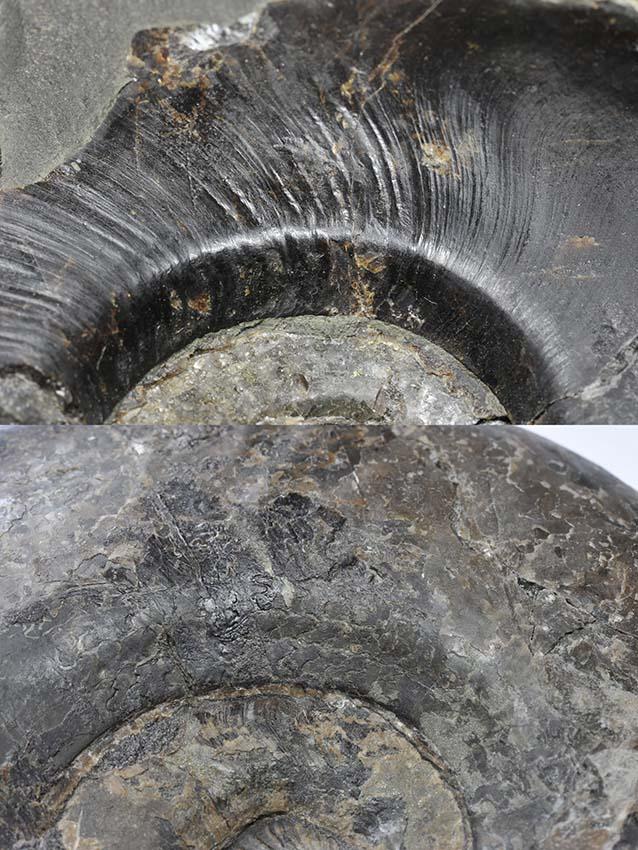 Comparison of umbilical edges of Eleganticeras (top) and Ovaticeras (bottom), both approx. 12 cm