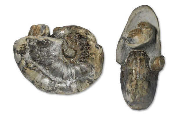Frechiella subcarinata (YOUNG & BIRD, 1822), 8.5 cm diameter, Port Mulgrave, with a Dactylioceras fragment and a belemnite phragmocone in the aperture