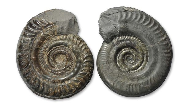 Hildoceras bifrons (left), Hildoceras semipolitum (right), both 10 cm