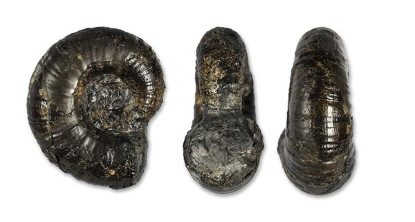 Lytoceras (Trachylytoceras) nitidum (3 cm)