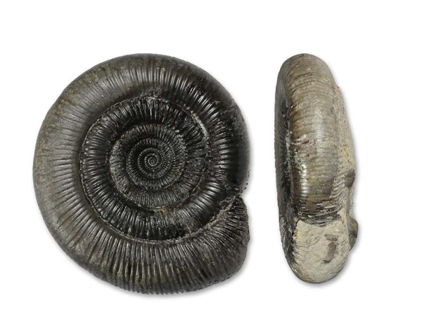Dactylioceras (O.) clevelandicum, 9 cm
