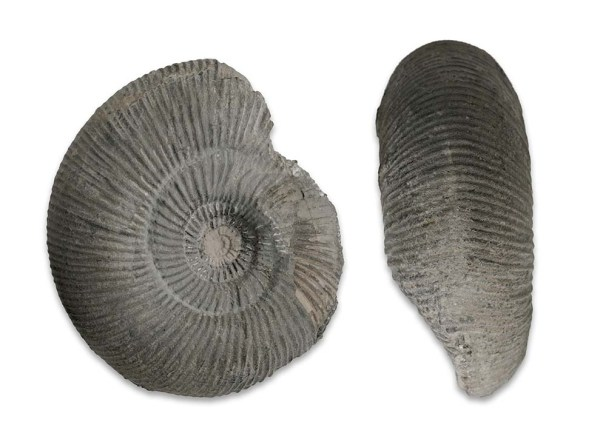 Dactylioceras (O.) crosbeyi, 8 cm, Mulroy collection