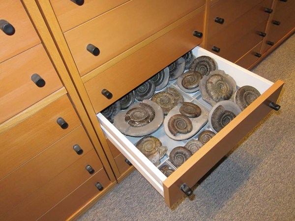 Drawer with various Dactylioceras (Orthodactylites) sp.