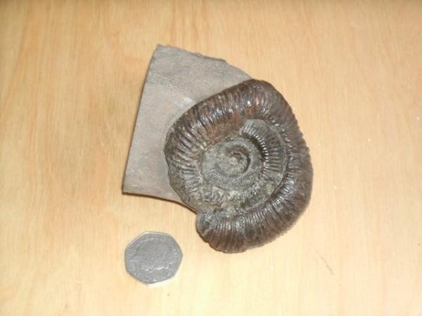 Dactylioceras sp. forma aegra undatispirata, 6 cm (Col. D. Groocock)