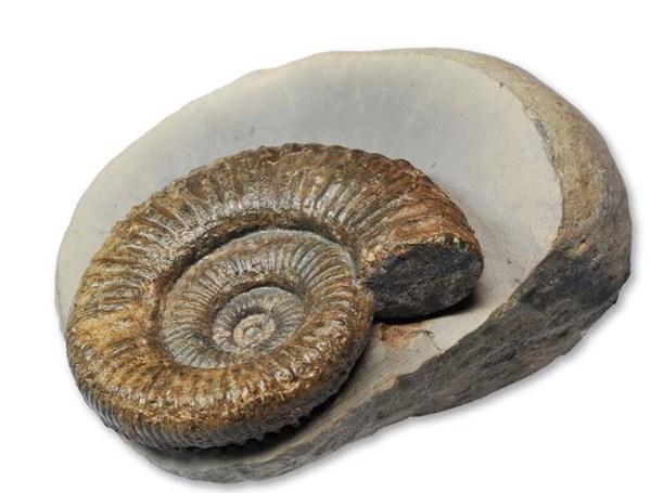 Zugodactylites braunianus forma aegra excentrica, 4.5 cm