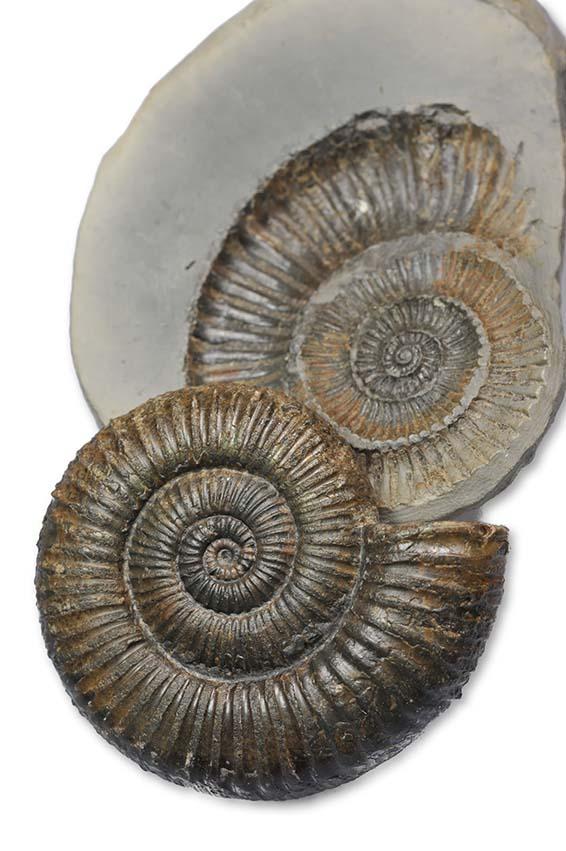 Zugodactylites braunianus forma aegra excentrica, 4.5 cm, underside convex