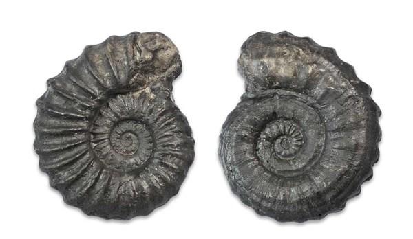 Asteroceras sp. forma aegra juxtacarinata, cast, 5 cm