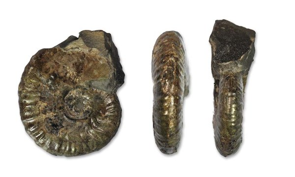 """Monestieria errata"", 4 cm, a Cleviceras sp. forma aegra circumdata"