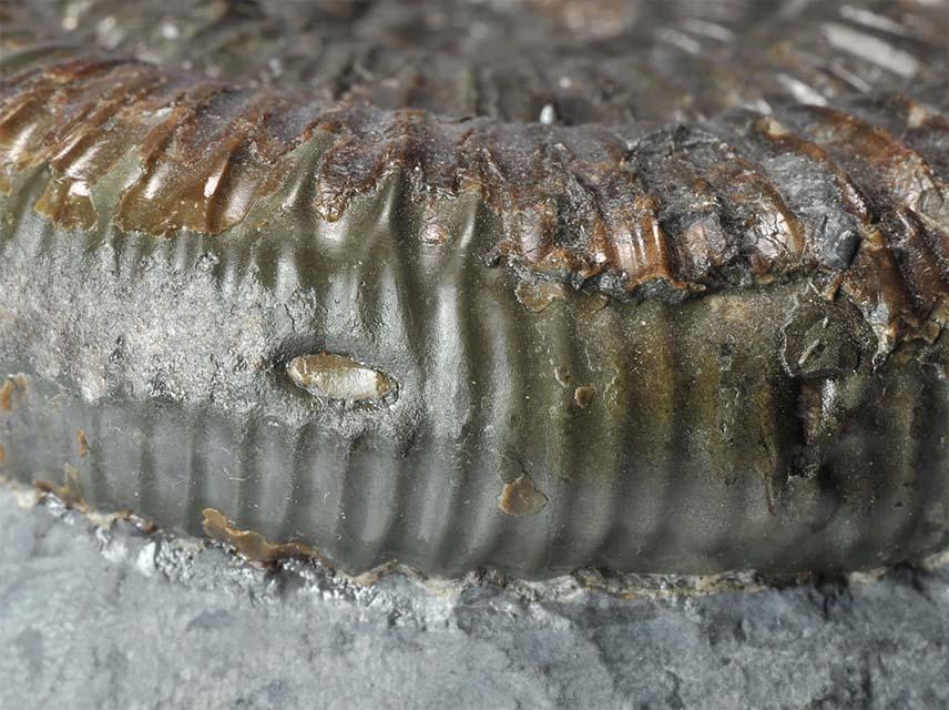 Dactylioceras sp. forma aegra concreta, pearl 2 mm diameter