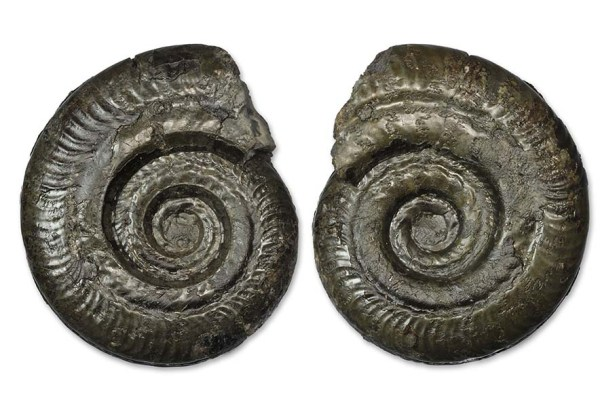 Dactylioceras semipolitum, 6 cm, showing both sides