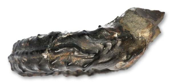 Pleuroceras sp. forma aegra undaticarinata, 3 cm